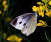 蜜を吸うモンシロチョウ成虫