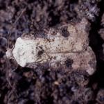カブラヤガの成虫
