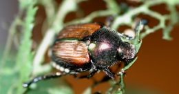 Japanese beetle imago