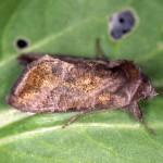 Anadevidia peponis imago