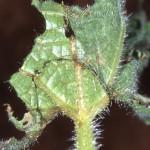 Anadevidia peponis larva3