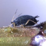 Aphis gossypii imago in winter