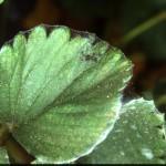 Tetranychus kanzawai Kishida strawberry