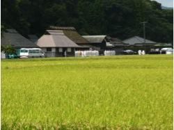 写真2 神宮神田の抜穂祭(2014年9月2日)