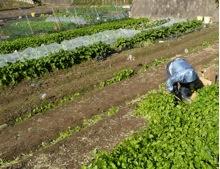 写真1 朝熊町における朝熊小菜の収穫(2014年12月14日)