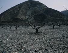 写真4 中国甘粛省蘭州市郊外の果樹(桃)園における石マルチ(2000年4月4日)