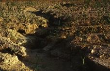 写真5 沖縄県宜野座町のサトウキビ畑の土壌侵食(1985年10月16日)