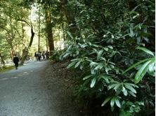 写真1 外宮下御井神社前のトクラベの木(2015年3月13日)