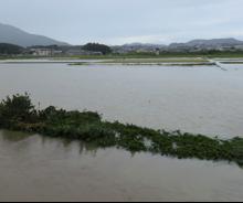 写真3  冠水した伊勢市楠部町の水田、手前は河川と堤防(2015年9月9日)