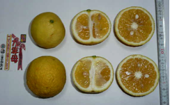 写真3 三重県南伊勢町で栽培されている香橙(クネンボ)(2015年3月24日)
