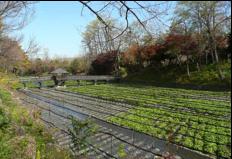 写真5 大王わさび農場のワサビ畑(2014年11 月5日)