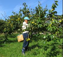 写真1 蓮台寺柿の収穫(2015年9月28日)