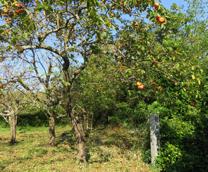 写真4 蓮台寺柿畑にある蓮台寺跡(2015年10月21日)