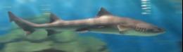 写真2 志摩マリンランドの回遊水槽中のドチザメ(2015年12月17日)