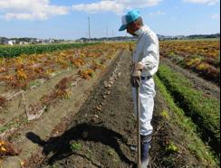 写真2 伊勢イモの収穫(2015年10月11日)