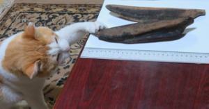 写真1 ネコにカツオ節。志摩市波切で生産された本枯節の背節(上)と腹節(下) (2016年2月18日)