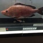 写真6  市場衛生検査所前では、毒魚の模型も展示