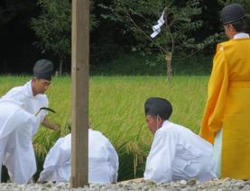 写真3 忌鎌による根刈り(2016年9月3日)